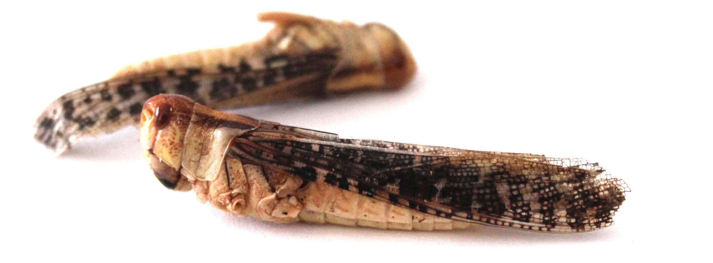 snack insects 39 sauterelle 39 essbare insekten heuschrecken snack kaufen. Black Bedroom Furniture Sets. Home Design Ideas