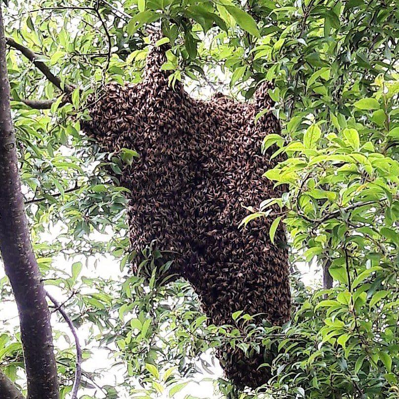 Bienenschwarm_im_Baum_-_Snack-Insects_Honig