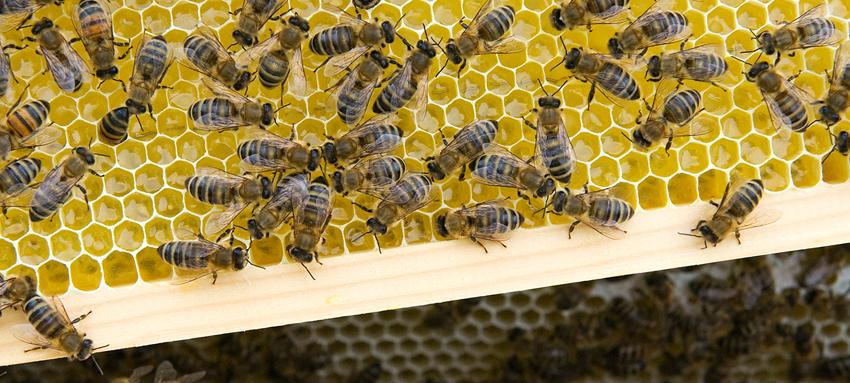 Bienen_auf_Wabe_-_Snack-Insects_Honig