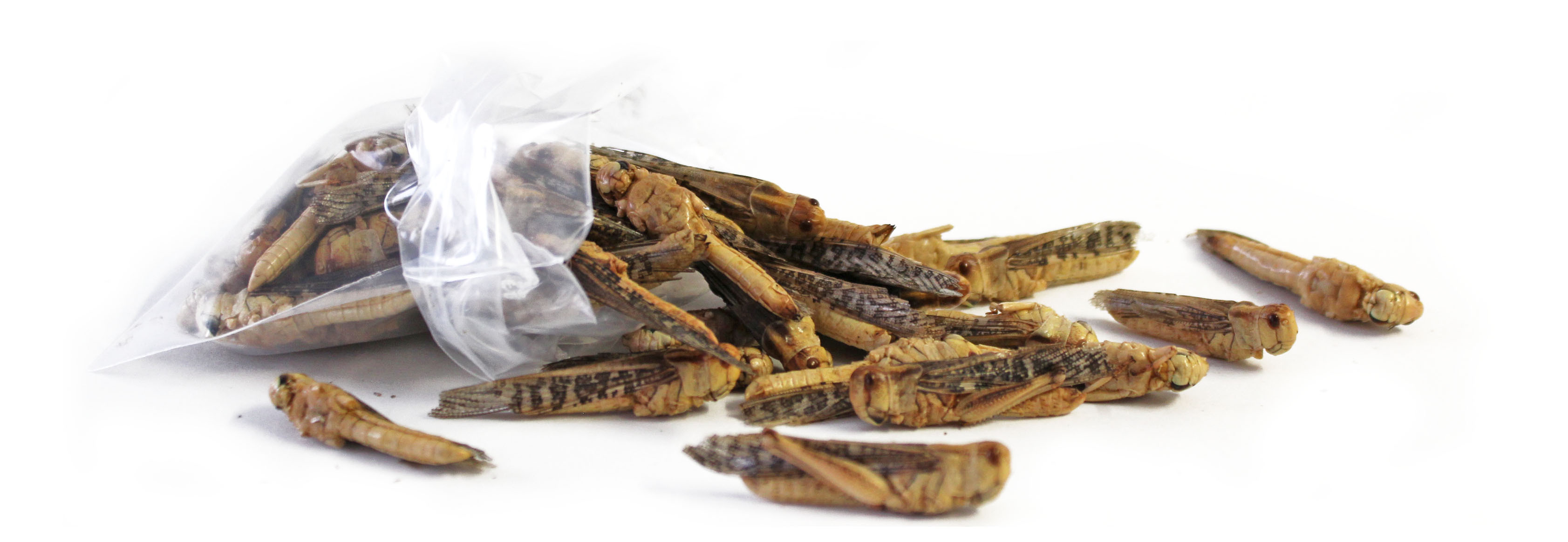 Essbare_Insekten_Heuschrecken_zum_Essen_von_Snack-Insects_bestellen_